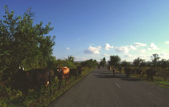 A Cow's World