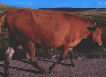 Big Ole Bull