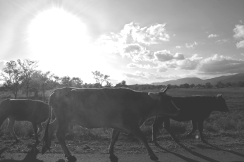 Cow Stroll