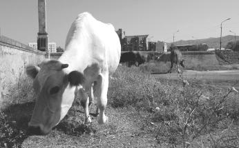 Gori Cows