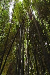 Majorelle Garden-Bamboo-1 copy