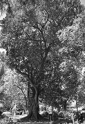 Sevilla - Maria Luisa Park Tree 286