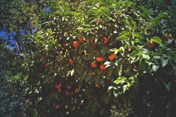 granada - orange tree - carmen de los martires